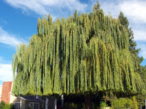 Huge willow tree. Occupies the whole front garden Royalty Free Stock Photography