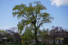 Huge willow tree in Kyoto Stock Images