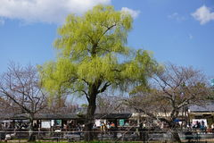 Huge willow tree in Kyoto Stock Image