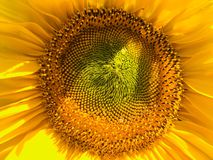 Sunflower as an example of the Golden section. Huge yellow disc of sunflower corresponds to the proportions of the Golden section royalty free stock photos