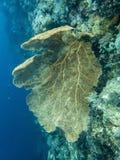 Huge Yellow Gorgonian Fan Coral in blue underwater image stock image