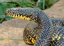 A huge yellow Speckled Kingsnake (King Snake) Royalty Free Stock Photos