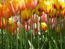Huge yellow tulips Royalty Free Stock Image