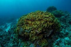 Huge yellow waver coral Stock Photo