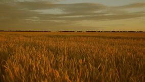 Huge yellow wheat field in the beautiful golden rays of sunset.Beautiful sunset with the countryside over a field of