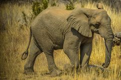 A huge and young elephant in Kruger national park stock photos