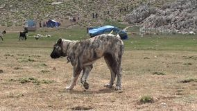 Huge young kangal dogs. Two huge young kangal dogs, afraid running away stock video footage