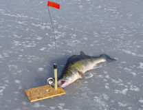 Huge zander and tackle for fishing on the ice. The huge zander and tackle for fishing on the ice Stock Image
