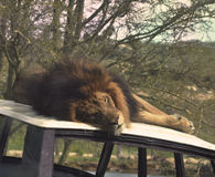 Huggable lion. Lion sleeping on top of an old jeep Stock Photos
