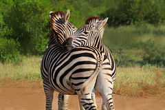 Hugging couple of zebras in Kruger National park. Autumn in South Africa. Royalty Free Stock Photo