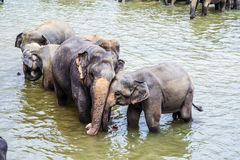 Hugging elephants in the river Stock Images