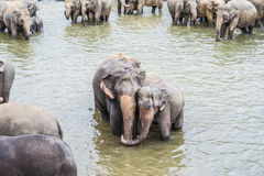Hugging elephants in the river Stock Image