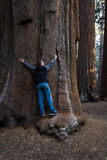 Hugging a giant sequoia Royalty Free Stock Image