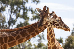 Hugging Giraffes Stock Photo