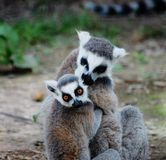Hugging lemurs. Adult with baby lemur holding on Royalty Free Stock Photo