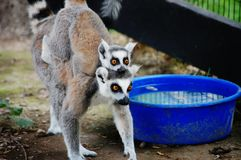 Hugging lemurs. Adult with baby lemur holding on to its back Stock Photography