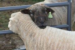 Hugging sheep. Royalty Free Stock Photo