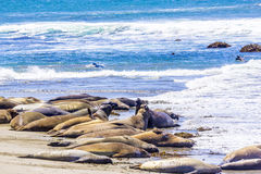 Hugging young male Sea lions at the sandy beach relax Royalty Free Stock Photo