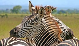 Hugging zebras. Zebras petting each other in Mikumi national park, Tanzania royalty free stock photo