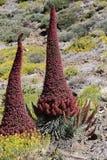 huggorm för bugloss s Royaltyfri Foto