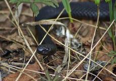 Huggorm för svart skog för giftorm Arkivfoton