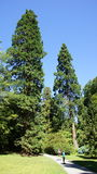 Hugh-Mammutbaumbäume in Bodnant-Garten Stockfotografie