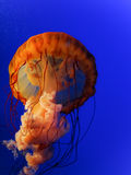 The Hugh Orange Jellyfish. The Hugh Orange Jellyfish in a blue background Stock Image