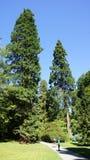 Hugh sequoia trees in Bodnant Garden Stock Photography