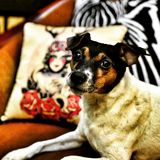 Hugin pies obraz stock