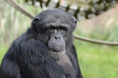 шимпанзе hugo Стоковые Изображения RF