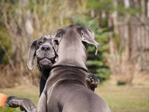 Hugs and games dogs breed great Dane blue color. stock photo