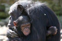 Chimps cuddling stock photos