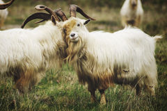 Hugs and smiles. 2 angora goats cozy up to each other Stock Photography