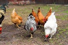 Huhn stockfotografie