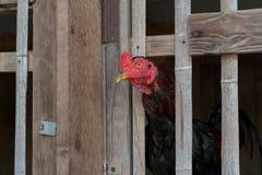 Huhn auf dem Bauernhof stockfotos