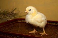 Huhn auf einem Behälter Lizenzfreie Stockfotografie