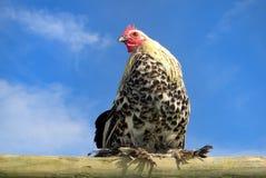 Huhn auf einem Lattenc Stockfotos