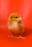 Huhn auf einem roten Hintergrund Stockfotos