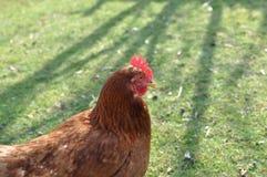 Huhn auf grünem Gras Lizenzfreie Stockfotos
