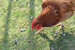 Huhn auf grünem Gras Stockfotografie