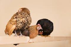 Huhn auf Steuerknüppel Stockbilder