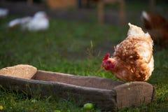 Huhn auf traditioneller Freilandgeflügelfarm stockbild
