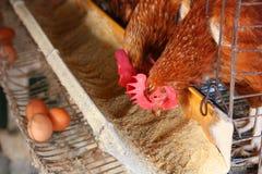 Huhn auf traditioneller Geflügelfarm Lizenzfreie Stockfotos
