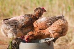 Huhn-Bauernhof Lizenzfreie Stockfotografie