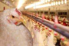 Huhn-Bauernhof Lizenzfreies Stockfoto