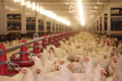 Huhn-Bauernhof Lizenzfreie Stockbilder