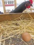 Huhn betrachtet ein Ei, das sie gerade gelegt hat stockfoto