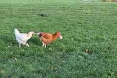 Huhn, das für ihren Apfel gejagt wird stockfotos