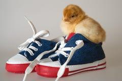 Huhn, das im Schuh sitzt Lizenzfreies Stockbild
