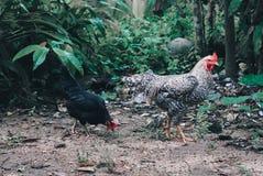 Huhn, das nach Lebensmittel aus den Grund sucht Lizenzfreies Stockfoto